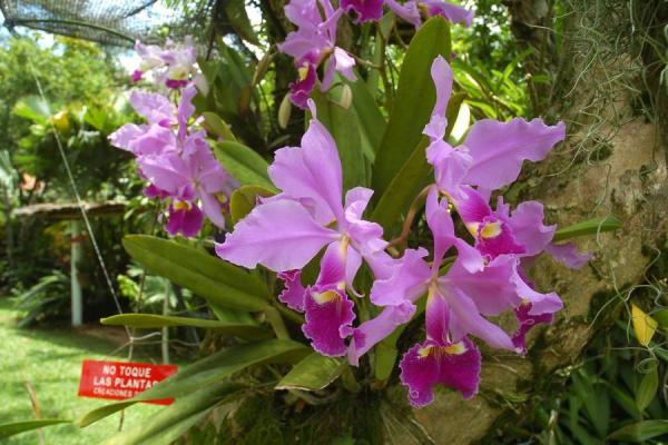 Orquídeas colombianas extranjeras se exhibirá en el parque de las Mejoras Públicas durante la feria.