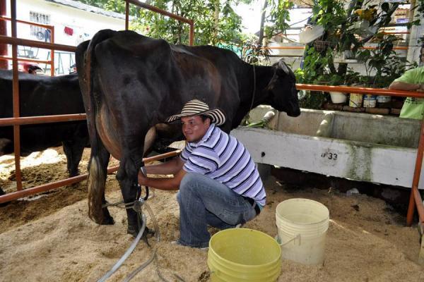 La vaca 'Pirula' de la finca El Cabir, ganó concurso lechero ...