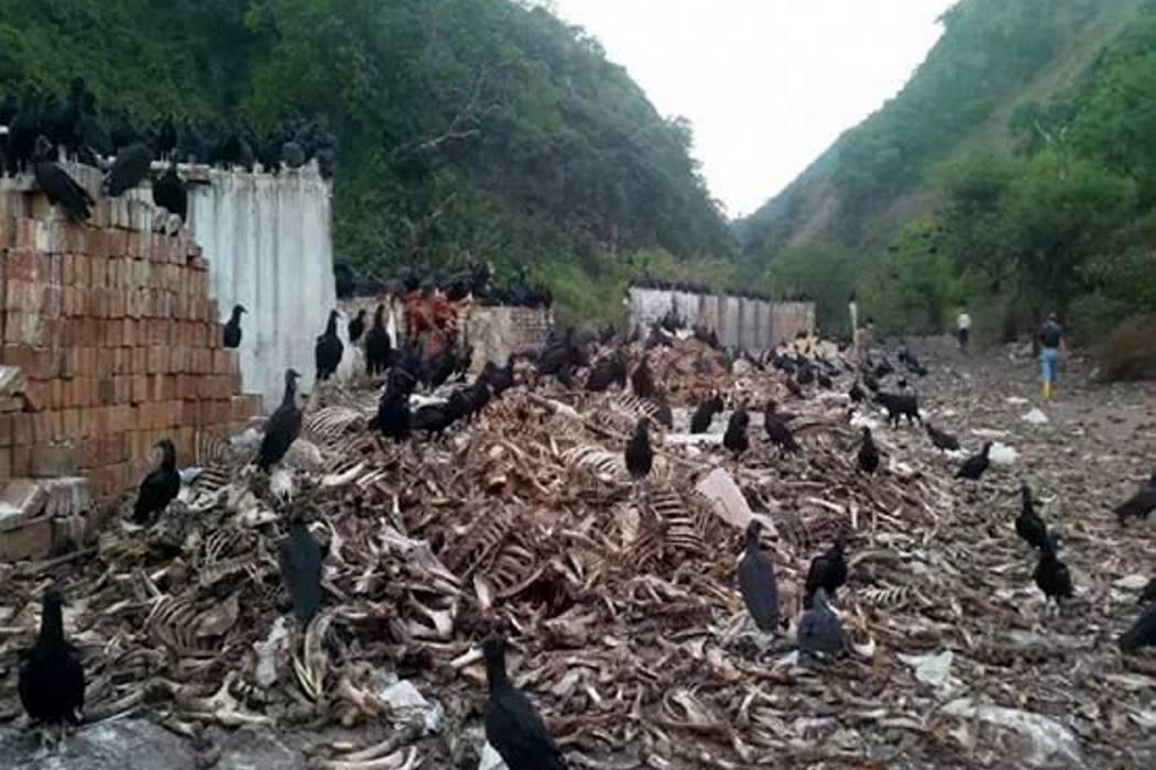 Cdmb sigue hallando mataderos clandestinos en la vereda Bocas