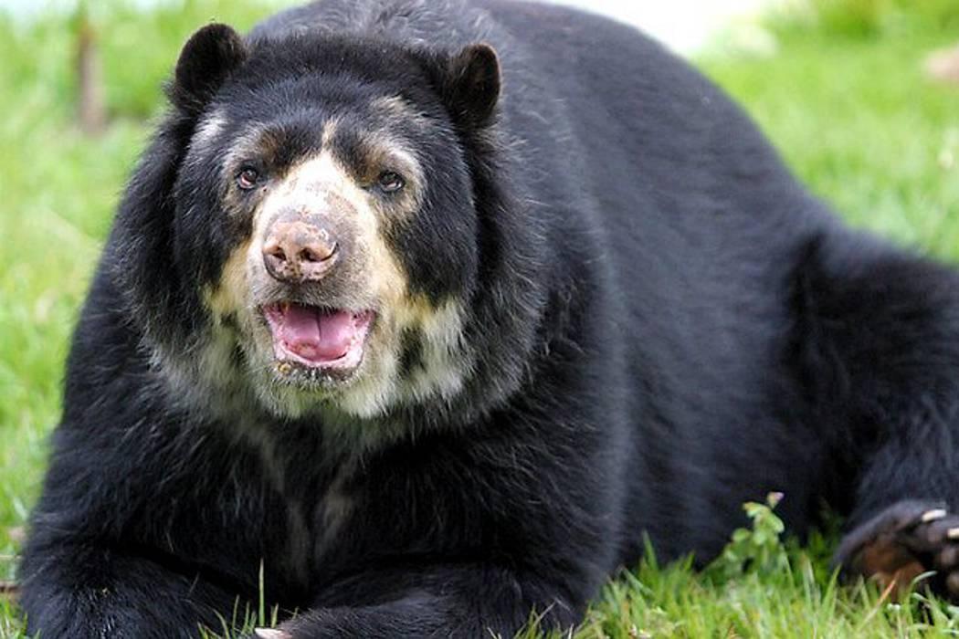 Investigan asesinato de oso de anteojos en Cundinamarca