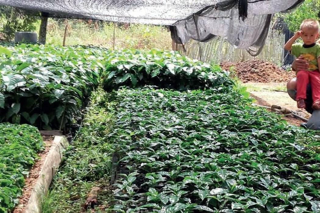 Promueven siembras de café de la variedad Castillo