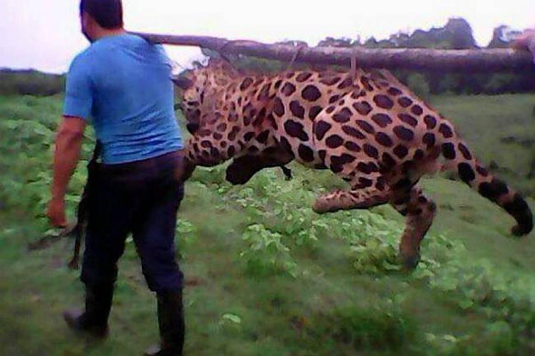 Avanza investigación por muerte de jaguar
