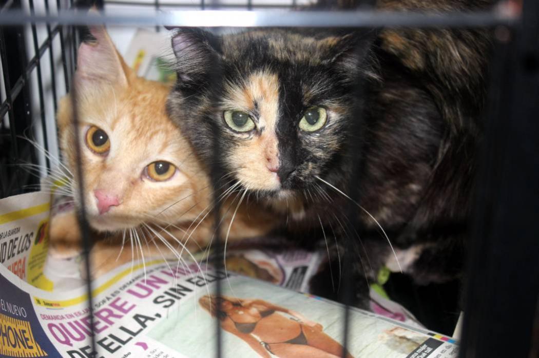 30 gatos aguardan a que los adopten en Bucaramanga