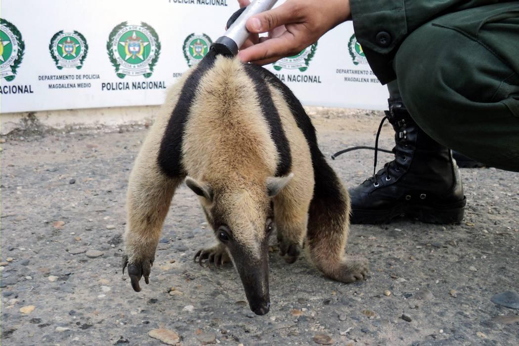 Reportan muerte de oso hormiguero en Santander por aberrante ataque a machete
