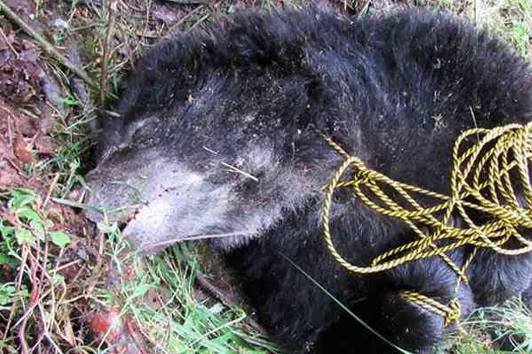 Asignarán un fiscal especializado para investigar asesinato de oso de anteojos