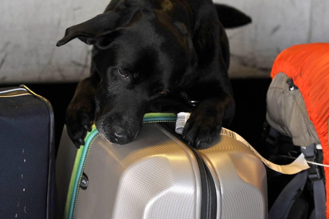 ¿Desde cuándo puede viajar en avión con su mascota en la cabina de pasajeros?
