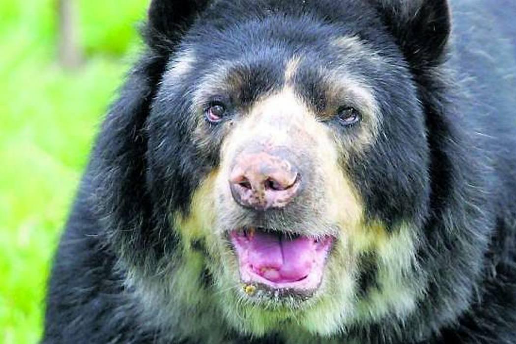 Esta es la primer condena por asesinato de un oso de anteojos en Colombia