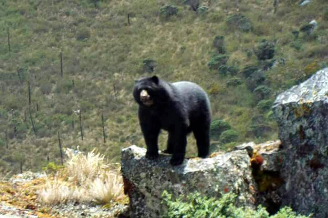Piden no cazar a oso de anteojos fotografiado este martes en Santander