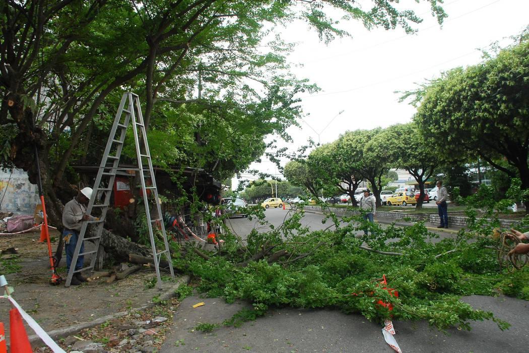 Seis mil árboles podará este año la Alcaldía de Bucaramanga
