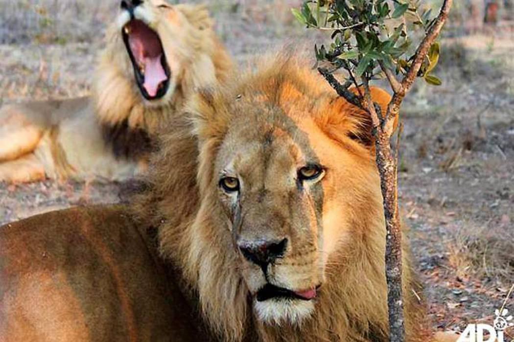 Asesinan a dos leones que viajaron a Sudáfrica con felinos de Bucaramanga