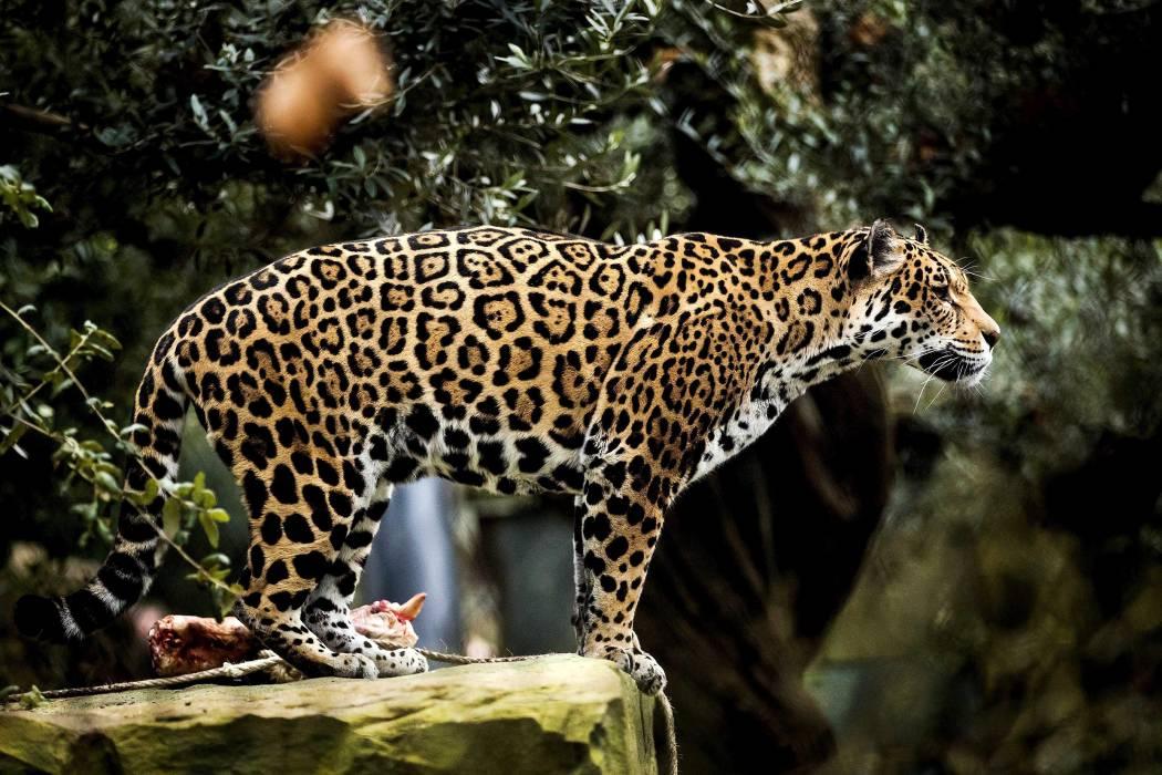 Van 11 búfalos muertos por ataques de felinos en Barrancabermeja