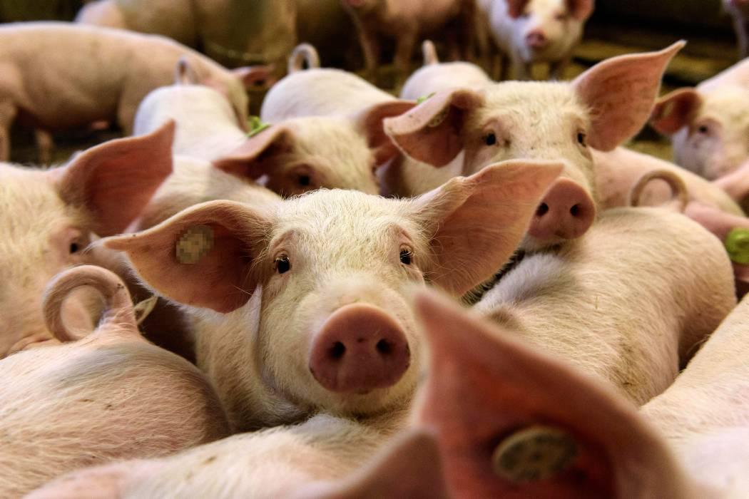 Carne de cerdo apunta a Ecuador