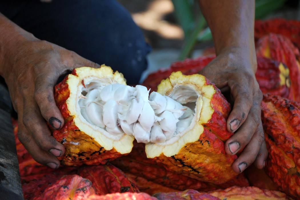 El comportamiento de la TRM afecta exportación y precio interno del cacao