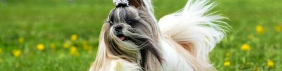 Shih Tzu, el canino miniatura con 'colitas de caballo' y corazón  noble