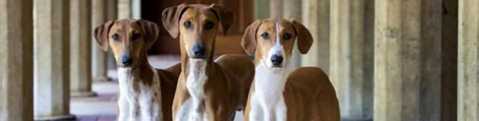 Azawakh, un canino de altura, velocidad, fuerza y fidelidad