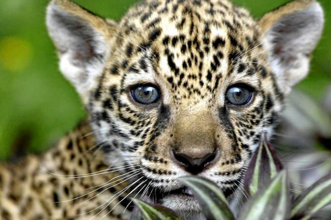 Descubren en México una colonia de jaguares en peligro de ...