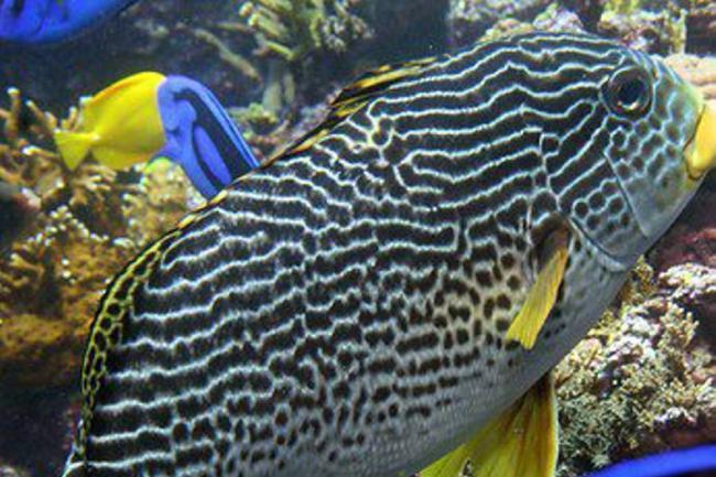 Comercio de peces ornamentales genera alerta en choc for Manual de peces ornamentales