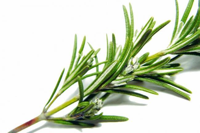 Plantas medicinales para cultivar en casa ola verde - Cultivar plantas aromaticas en casa ...