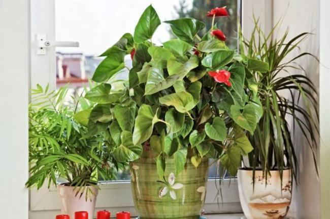 Plantas para tener en el hogar for Anturio cuidados