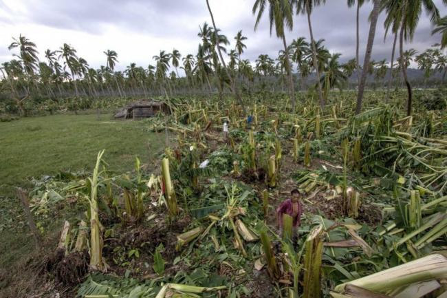 Resultado de imagen para Cultivos de plátanos y papayas de Puerto Rico dañados por huracán Irma
