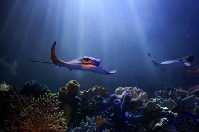 Especies ornamentales de peces un mercado que est en for Acuariofilia peces ornamentales