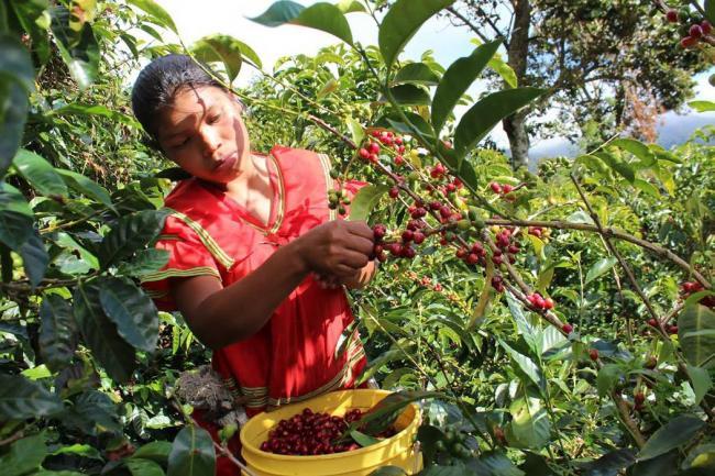Producción de café cayó 20% en abril