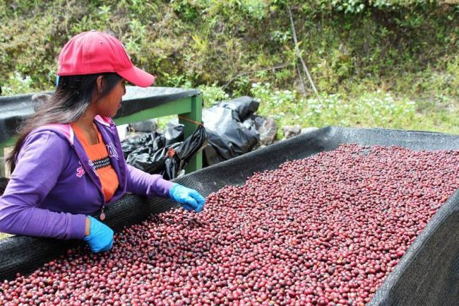 Producción de café cayó en mayo 22,5%