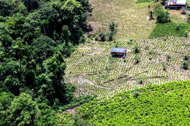 Farc están colaborando con erradicación de cultivos ilícitos, según Mindefensa