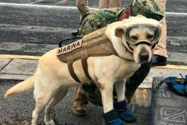 Frida, la perrita que busca vida entre los escombros