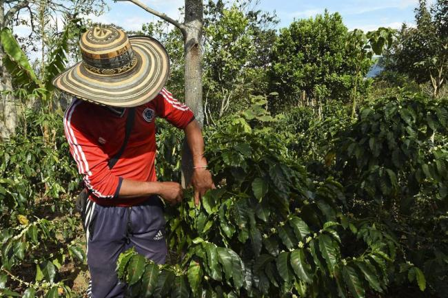 Gobierno destinará $45 mil millones para renovación de cultivos de café
