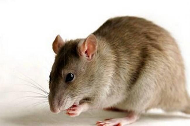 Nueva forma de 'marihuana' sintética mezclada con veneno para ratas
