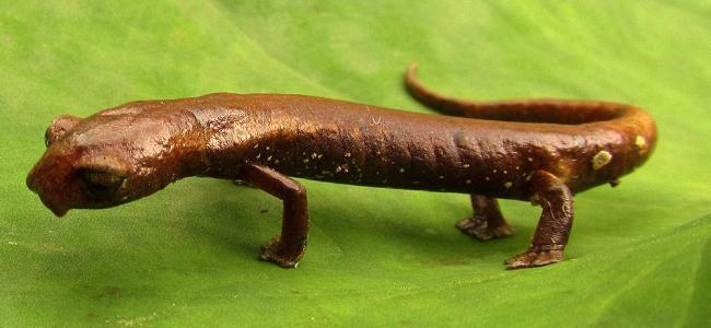 Descubren en Santander especie de salamandra única en el mundo ...