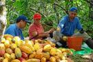 Los productores de cacao en San Vicente de Chucurí se concentrarán desde las 8:00 a.m. en el parque principal del municipio.