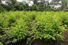 Colombia es el mayor productor de coca del mundo