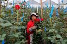 Colombia celebra San Valentín exportando 500 millones de flores