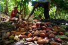 Cosecha de cacao en 2016 es la más alta de la historia
