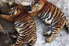 Tigres siberianos obesos generan polémica en China