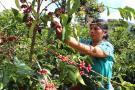 Infestación de broca  en café está en 2,08 %