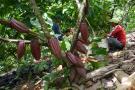 Crece 52 % producción de cacao en últimos 5 años