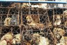 En China prohíben vender carne de perro durante un festival
