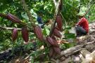 Sigue posicionamiento del cacao colombiano