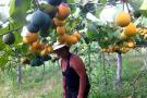 """La fruta de la """"pasión"""" se  cultiva en parcelas de Gámbita"""