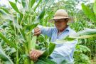 Siembras de maíz caerían 15% en primer semestre de 2018