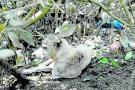 Apuñalado y amarrado a un mangle hallaron a un perro abandonado