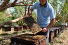 Multiplicarán abejas de alto valor genético