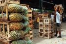 Sembradores de piña perolera están trabajando a pérdida en Santander