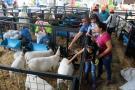 Crece consumo de ovinos en el país