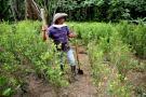 EE. UU. asegura que cultivos de coca en Colombia alcanzaron las 209 mil hectáreas