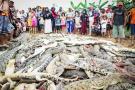 Aldeanos matan 292 cocodrilos para vengar la muerte de un vecino en Indonesia