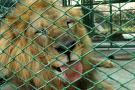 Imágenes de los nueve leones que viajarán de Bucaramanga a Sudáfrica